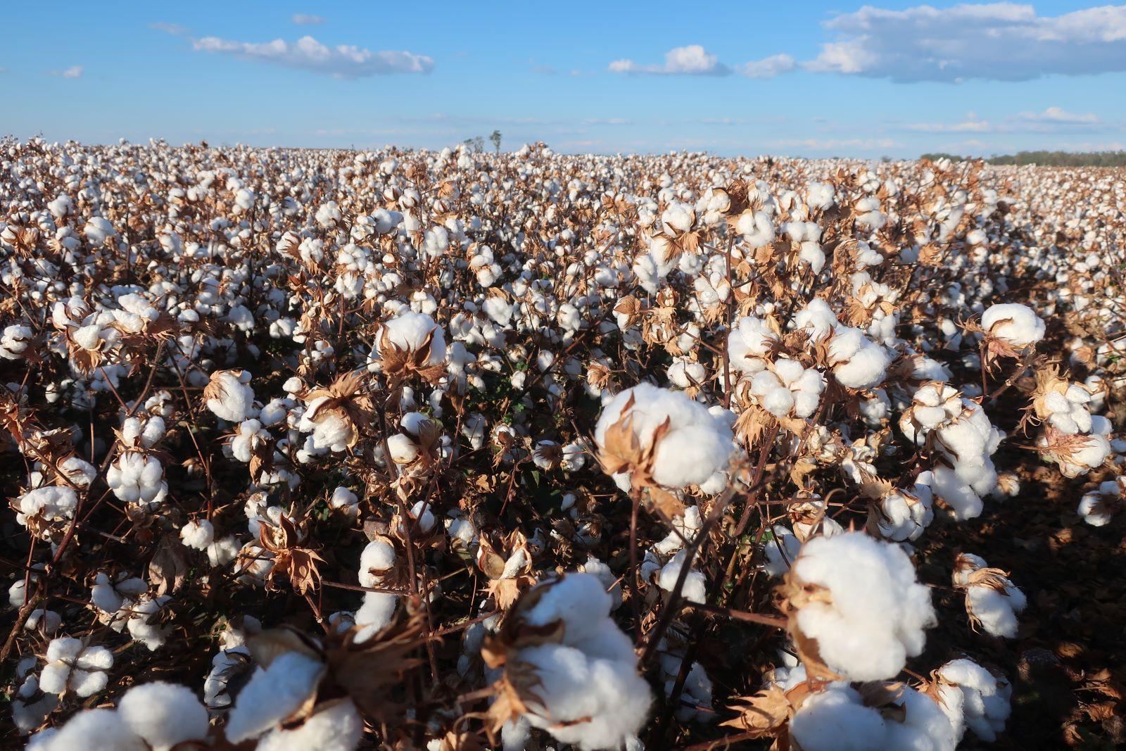 Cotton Disease